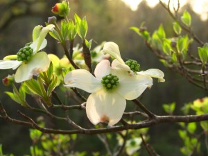 Dogwood~March 09