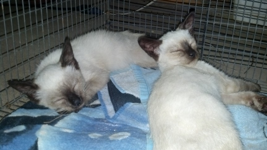 We are Siamese, if you pleeease. We are filled with ringworm and with fleeeeas